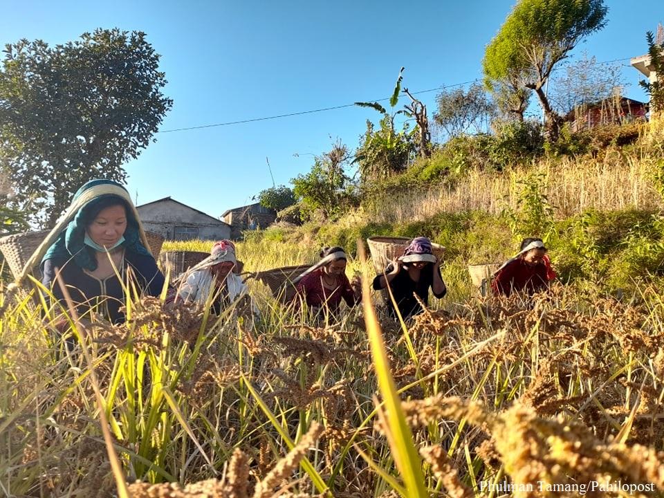 कोदो पाक्यो बारीमा : किसानलाई कोदो भित्र्याउन यस्तो चटारो, १४ फोटो